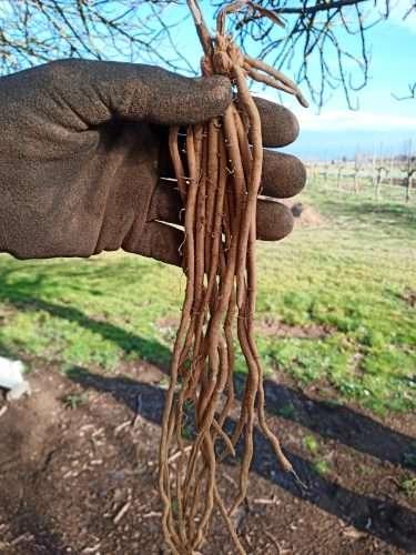 Zampa d'asparago